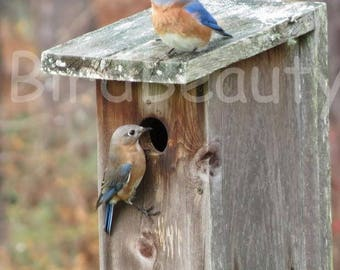Photo of Mom and Dad Bluebird looking for a house for their nest