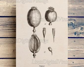 Instant download, Botanical chart, Poppy print, Vintage floral print, Antique botanical print, Printable art, 8x10, 11x14, A3 prints JPG PNG