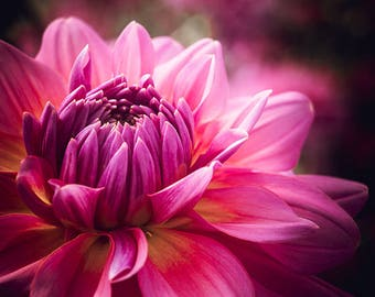 Fine Art Photography - Deep Pink Dahlia in dreamy light, wall art for home, office, or dorm