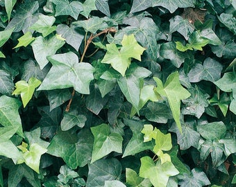 English Ivy Rooted Cuttings - Hedra Helix - Hardy Groundcover