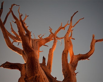 Bristlecone Pine at Sunset  Fine Art Print