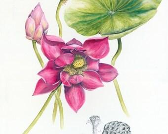 Pink Lotus Botanical Print, from original botanical illustration by Australian artist Julie McEnerny