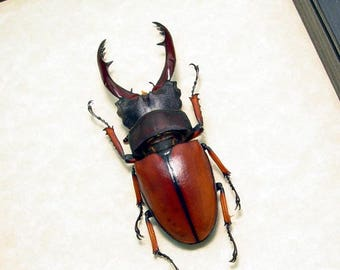Real Framed Prosopocoilus Astacoides 65+mm Stag Beetle Shadowbox Display 8240L