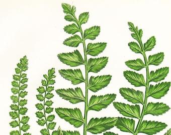 Sea Spleenwort Fern Antique Print . Original Botanical Plant Chromolithograph Vintage Plate Circa 1860 . Plate 298