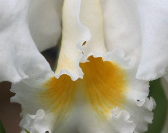 White and Yellow Orchid Detail Fine Art Photo