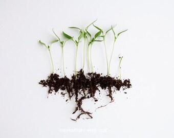 Choux de poivre. 8 x 10. tirage d'Art photographique de l'histoire naturelle. Style simple minimal. Decor de maison naturel. Jardin botanique d'intérieur