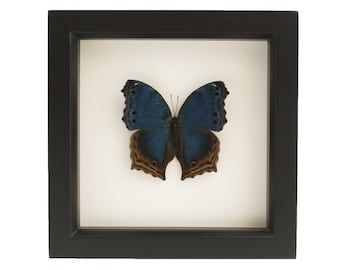 Butterfly Art Blue Mother of Pearl Salamis temora Display