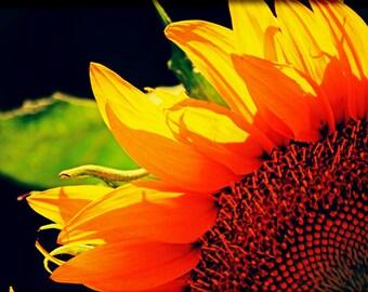 Sunflower Photo No.1, Sunflower Photography, Wall Art Print, Flower Photography