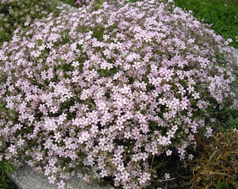 25 Seeds Gypsophila repens Seeds, creeping babys breath,