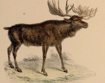 """1862.Antique print.Engraving hand colored.155 year old print. Museumof Natural History.Roebruck.Elk.Moose deer..10.6x7"""",18x27 cm."""