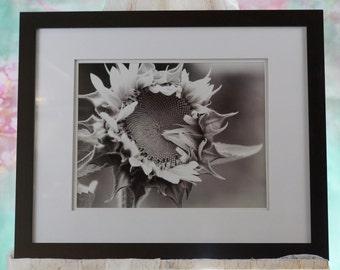 Framed Black & White Sunflower photo
