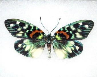 ONE Real Butterfly Blue Green Erasmia Pulchera Day Flying Moth