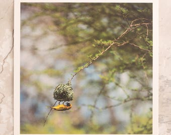 """Southern Masked Weaver Builds a Nest Overhead at Kruger National Park • 5x5"""" Print • Birds of the World • South Africa Wildlife Photography"""