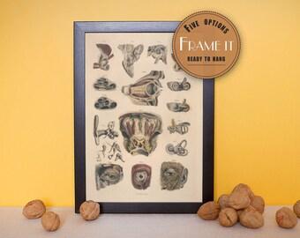 "Vintage illustration of Muscles of ear,eye orbit - framed fine art print, art of anatomy, home decor 8""x10"" ; 11""x14"", FREE SHIPPING - 189"