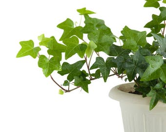 English Ivy Air Purifying Plant - Easy Care Live Houseplant, Outdoor Hanging Plant, Housewarming, Birthday Present, Dorm Decor, Gardening