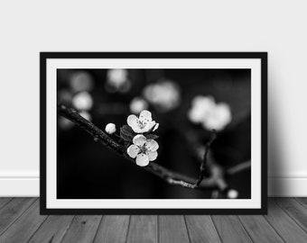 Apple Blossom Monochrome: Black and white fine art photography print home decor