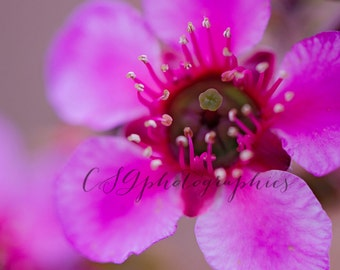 Cherry Blossom - pink cherry blossom - pink flower - Fine Art Photographic print