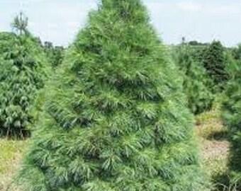 White Pine Seedlings 12 per order
