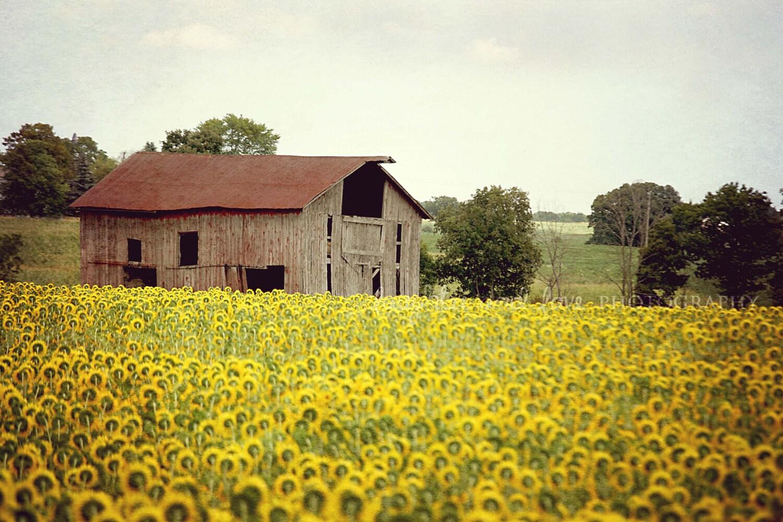 Sunflowers & Barn Picture Rustic Landscape Photography Farm