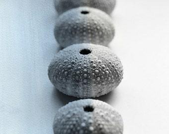 Sea Urchin Photography, Nautical Still Life, Blue Grey, Beach House Decor, 8x10 Print, Sea Urchins