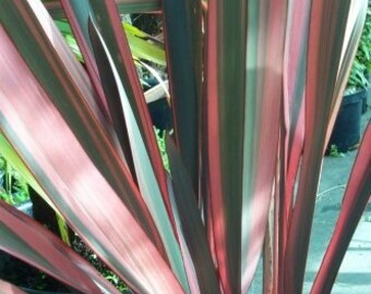Phormium 'Sundowner' New Zealand Flax