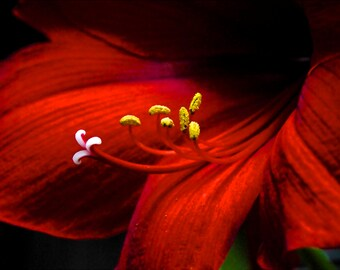 Amaryllis Flower-Fine Art Photo Blank Greeting Card--Suitable for Framing-Copyright Protected