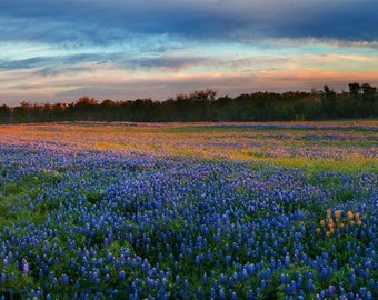 Panoramic Photo: White Wedding Chapel & Texas Bluebonnets at Dawn in Whitehall