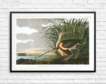 Long-billed Curlew, curlews, curlew prints, curlew art, curlew posters, Audubon art, Audubon prints, Audubon posters, bird art, bird prints