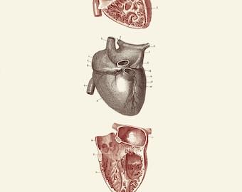 "Vintage Human Anatomy, Heart,  ""L'anatomie Humaine"" Print 8x10 P246"