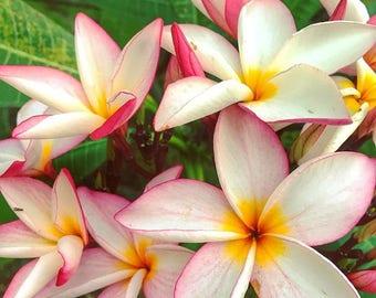 Light Pink Plumeria Starter Plant
