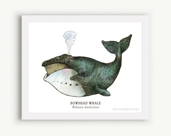 Bowhead Whale Print - Unmatted