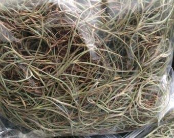 Felled Spanish Moss (Tillandsia usneoides)