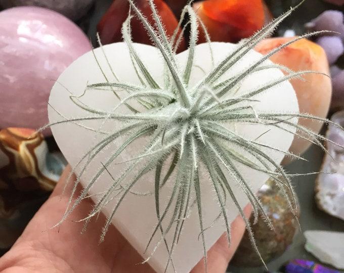Selenite Heart + Tectorum Tilandsia Air Plant | Reiki Infused | Spiritual Junkies | Crystal + Gemstone | Altar | Succulent Planter | Candle