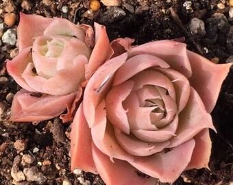 Echeveria simulans, Laguna Sanchez, rare succulent,  10 seeds