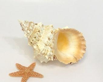 """Seashell - Large Natural Bursidae Shell 7""""-8""""  - beach coastal sea shells seashells frog shell"""