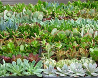 30 Party Favors Potted Mini Succulents Collection in 2 inch pots