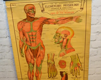 Arnold and Sons medical anatomical chart poster wall art vintage retro antique industrial macabre taxidermy