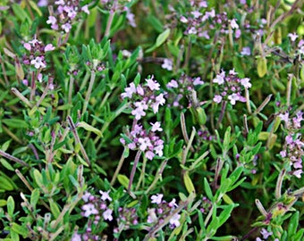 Thyme Seeds Heirloom Herb Non-GMO Naturally Grown Open Pollinated Gardening