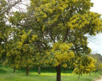 100 Green Wattle Tree Seeds, Acacia Decurrens