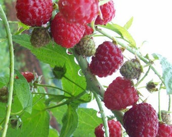 50PCS Pure Natural RED Rubus Raspberries Seeds Fruits Vegetables Berry