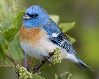 Blue Bird / Birds 8 x 10 / 8x10 GLOSSY Photo Picture