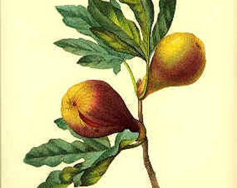 Redoute Botanical Print -  - Fig - 38