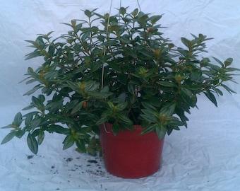 Goldfish Vine in 6 inch pot - Nemantathus