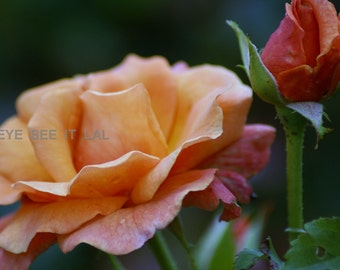 orange and pink rose photo print 4x6