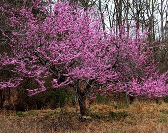 VikkiVines~Fuchsia Ornamental Tree ~ EASTERN RED BUD ~ Cercis Canadensis ~ Cottage Garden ~ 15 Seeds ~ Unique Gift! CVGG59