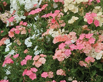 Phlox Seeds, Watercolor Memories Mix, Showy, Garden, Container Planting, 20 Seeds