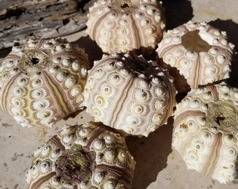 Rose Mauve Olive Cream Sputnik Knobby Sea Urchin Shells Natural Colors Ocean Marine Life Candle Air Plant Holder Collection Coastal Art DIY