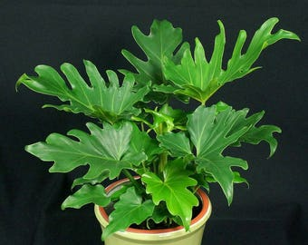 Hope Philodendron - Philodendron bipinnatifidum 'Hope'  - 1 Plants - 1 Feet Tall - Ship in 1 Gal Pot