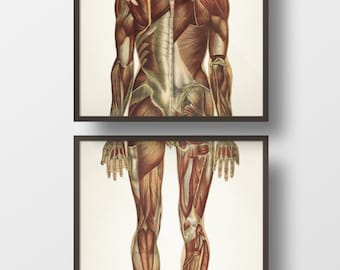 Human Anatomy MUSCLE System, Back Pair - HU-16 HU-17 - Fine art prints of a vintage medical anatomical illustrations