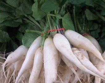 White Icicle Radish Heirloom Garden Seed Non-gmo 100+ Seeds Delicious Roots Naturally Grown Open Pollinated Gardening
